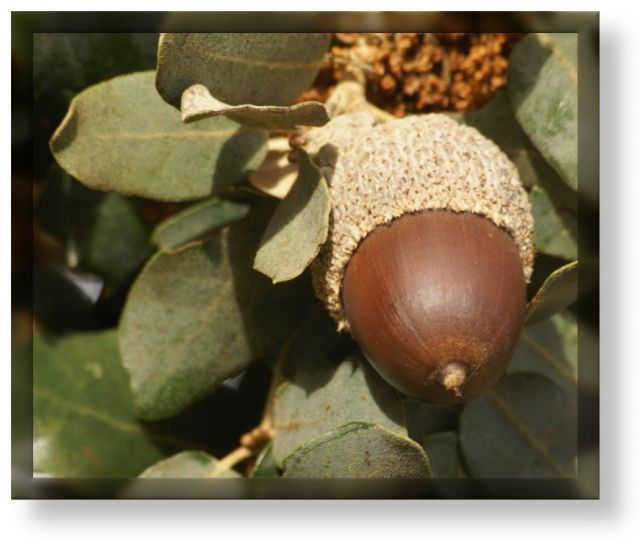 Bellota (frutos de otoño)