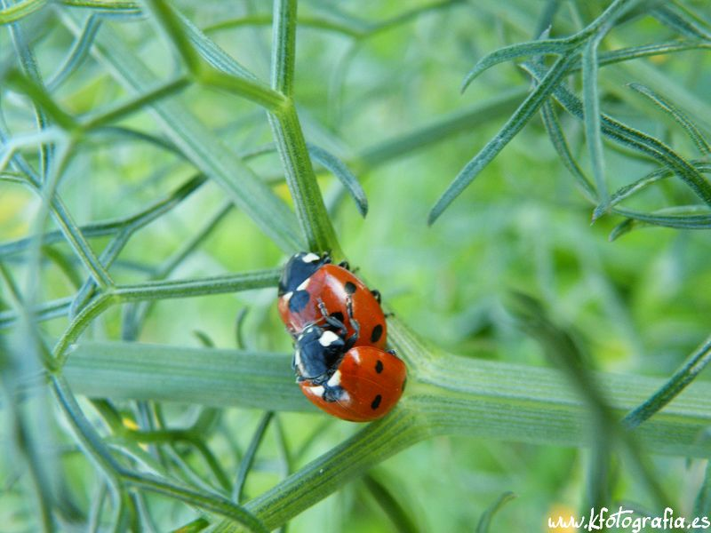 Mariquitas apare ndose coccin lidos coccinellidae fotos de animales - Imagenes de animales apareandose ...