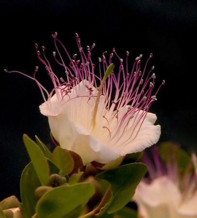 Flor de la Alcaparra - Isla de Menorca