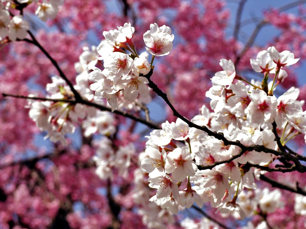 Resultado de imagen de la flor del almendro