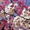 La Flor del Almendro