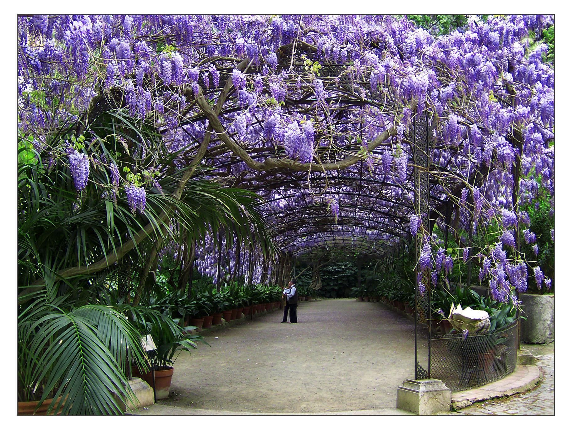 Glicinias en el cenador del jard n botanico hist rico la for Jardin botanico en sevilla