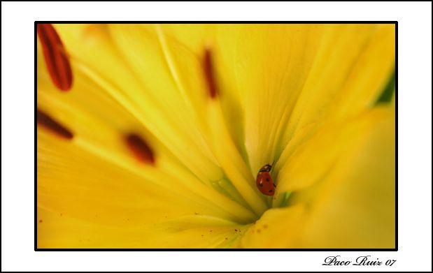 Flor y mariquita