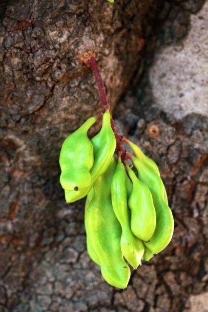 Fruto del algarrobo