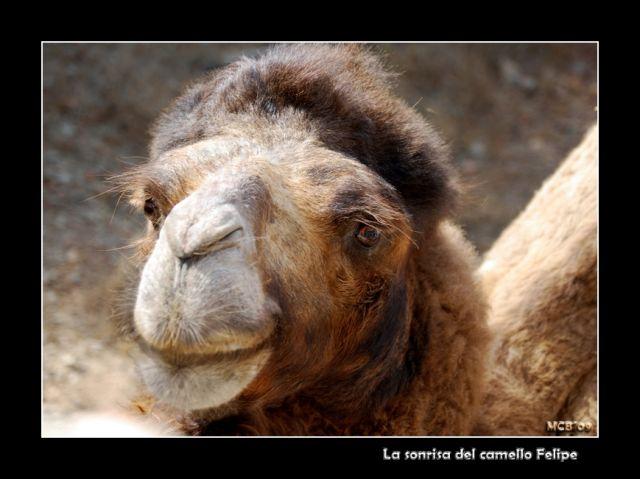 La SONRISA del camello Felipe