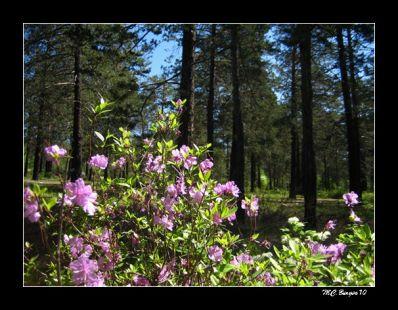 Rododendro en el bosque