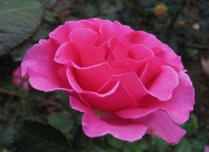 Rosa fusia