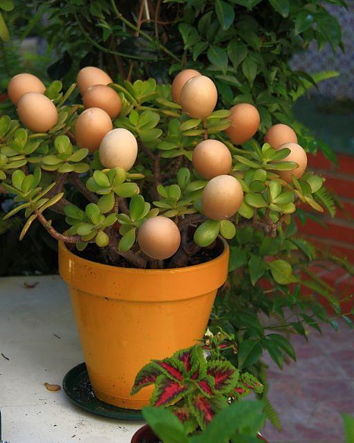 La planta de los huevos