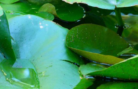 flor acuatica