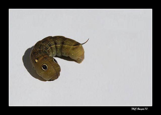 Un gusano muy particular