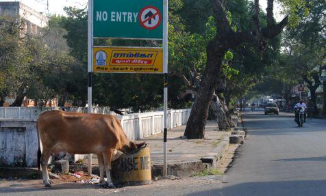 Vacas y basuras sacradas