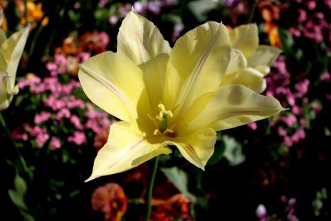 Tulipanes IV