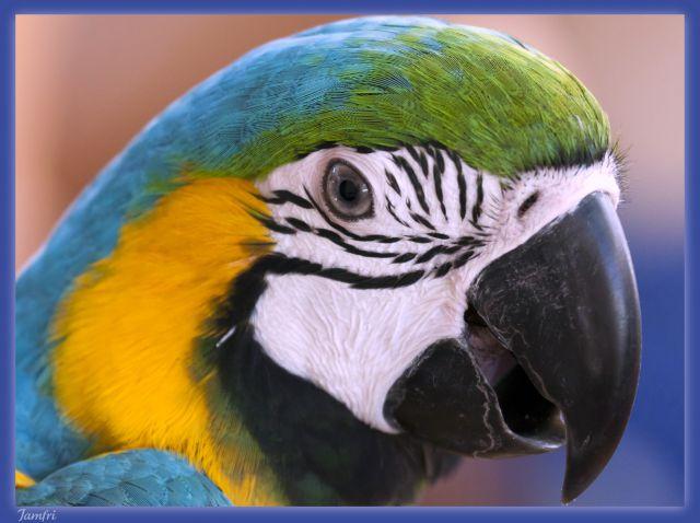 Papagayo Azul....No es un Loro