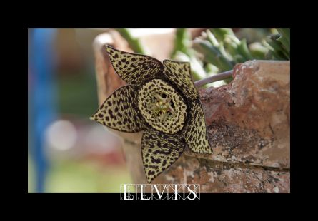 la flor del Cactus.