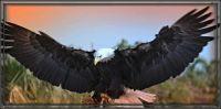 Águila Americana