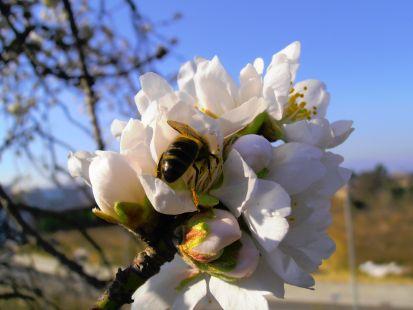 Abeja en la flor de almendro