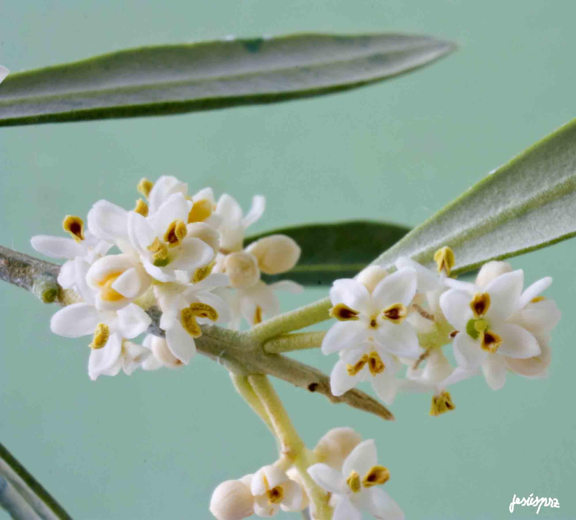 Palabra y Imagen - Página 39 Rapa-flor-del-olivo-15