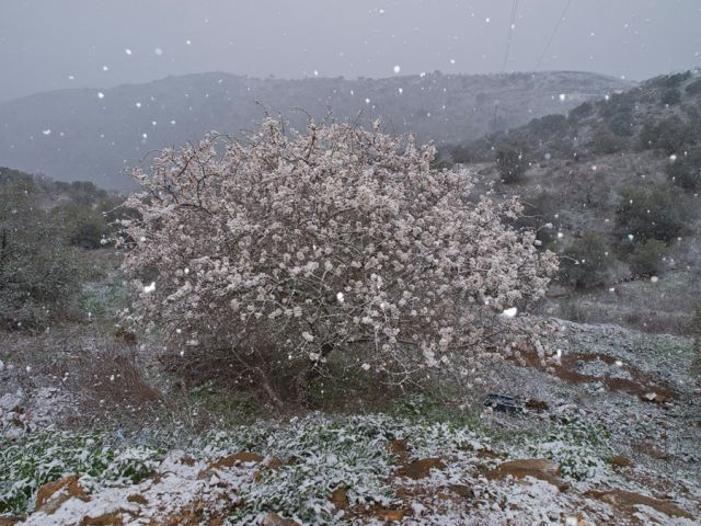 Almendro en flor y nieve