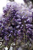 Glicinia en floración