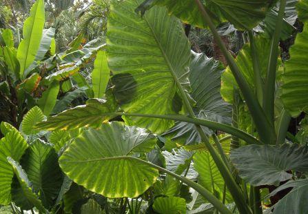 hojas de elefantes