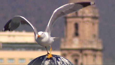 Gaviota de Málaga