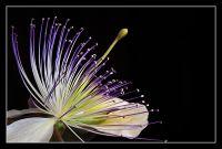 Flor del alcaparrón