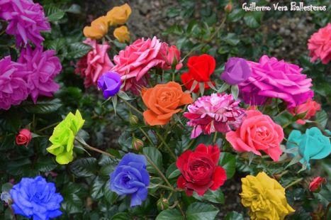 un ramillete de rosas