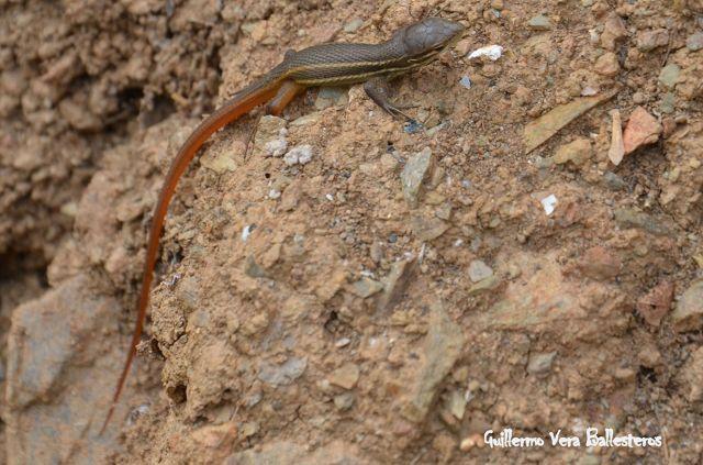 una cria de lagartija