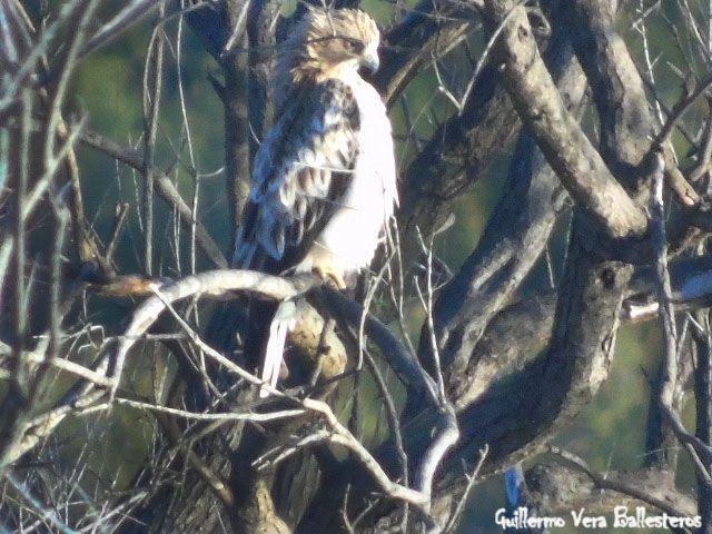 águila o aguililla calzada (Hieraaetus pennatus)