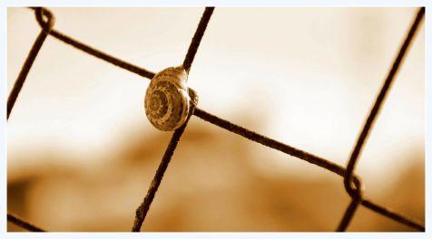 caracol migrante