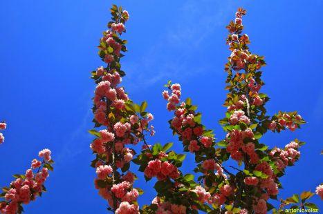 Sakura o flor del cerezo japonés