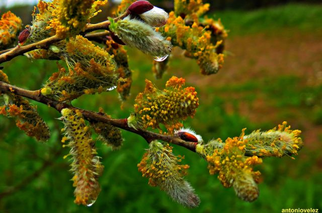 Flor de salix de acutifolia