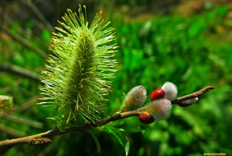 Flor de salix acutifolia