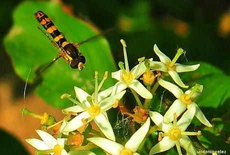 Mosca Syrphidae