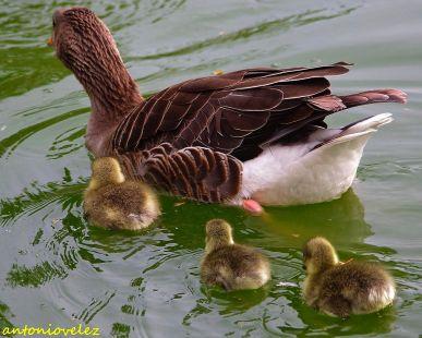 Familia Oca