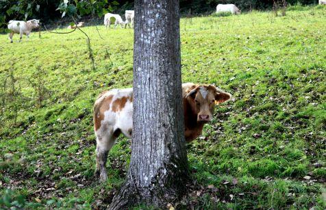 El toro timido