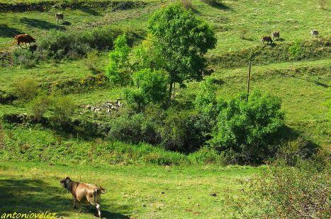 Vacas en Campellas