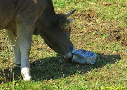 Vaca en Campellas-Pirineos
