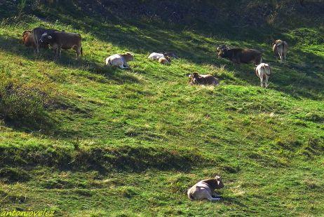 Vacas en Campellas-Pirineos