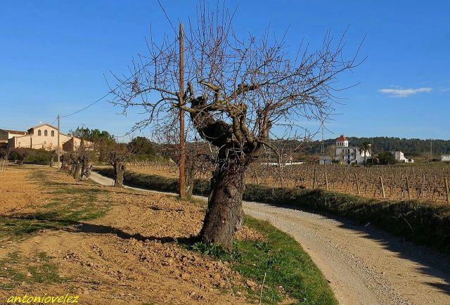 Viñas de la comarca del Penedés
