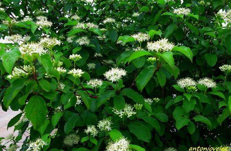 Flor de arbusto